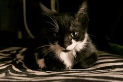 Kara, chat Gouttière