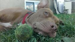 Karah, chien American Staffordshire Terrier