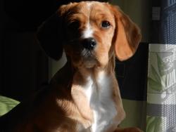 Karamel, chien