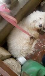 Karamel, chien Caniche