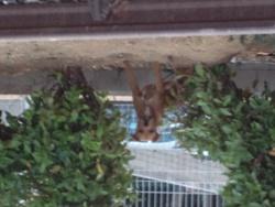 Karamel, chien American Staffordshire Terrier