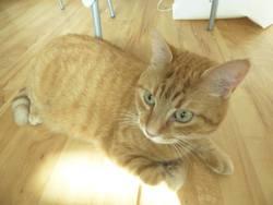 Karamel, chat Européen