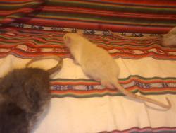 Karamelo, rongeur Rat