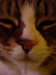 Karesse, chat Européen