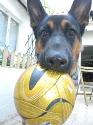 Karl, chien Berger allemand
