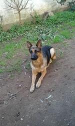 Karlaf, chien Berger allemand