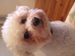 Kassy, chien Bichon à poil frisé