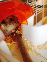 Kat, rongeur Hamster