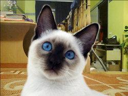 Kati, chat Siamois