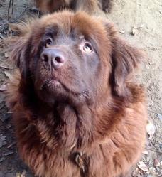 Katia , chien Terre-Neuve