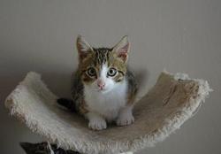 Katnip, chat Européen