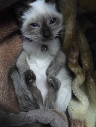 Katou, chat Siamois