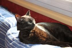 Katuki, chat Européen