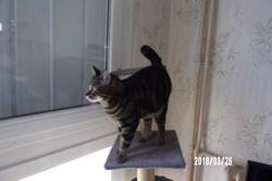 Katy, chaton Européen