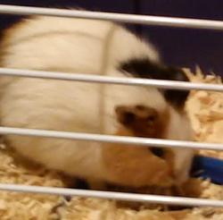 Katy, rongeur Cochon d'Inde