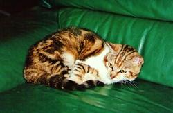 Katya, chat Européen