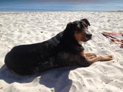 Kawa, chien Beauceron