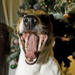 Kawa, chien Jack Russell Terrier