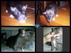 Kawa , rongeur Rat