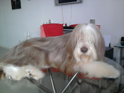 Kawa, chien Bearded Collie