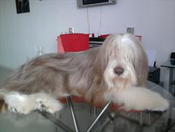 Kawa, chien Bearded Collie