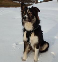 Kawai, chien Border Collie