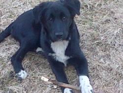 Kawet, chien Border Collie