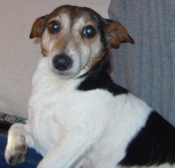 Kawett, chien Jack Russell Terrier