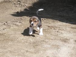 Kaya, chien Beagle