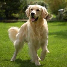 Kaya, chien Golden Retriever