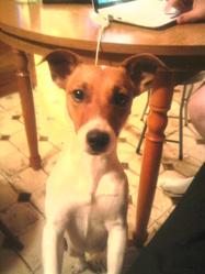 Kaya, chien Jack Russell Terrier