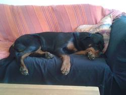 Kaya, chien Rottweiler