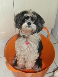 Kaya, chien Shih Tzu