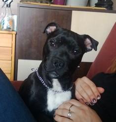 Kaya, chien Staffordshire Bull Terrier