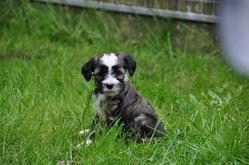 Kaya, chien Terrier tibétain