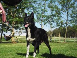 Kaya, chien