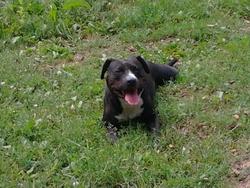 Kaya, chien American Staffordshire Terrier