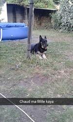 Kaya, chien Berger allemand