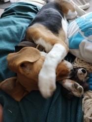 Kaya, chiot Beagle