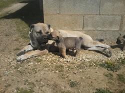 Kaya Du Temple Du Phoenix, chien Dogue de Majorque