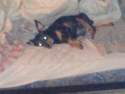 Kayhah, chien Pinscher