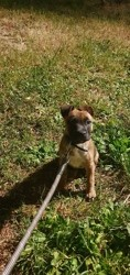 Kayia, chiot Staffordshire Bull Terrier