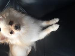 Kayla, chien Spitz japonais