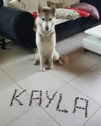 Kayla, chien Husky sibérien