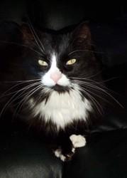 Kayla, chat Gouttière