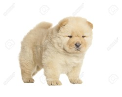 Kayla, chiot Chow-Chow