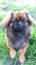 Kayla, chien Pékinois