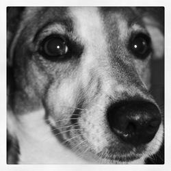Kayliah, chien Jack Russell Terrier