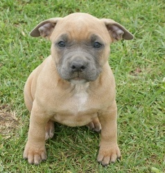 Kayna, chien American Staffordshire Terrier