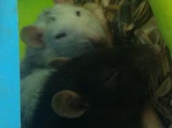 Kayna Au Paradis, rongeur Rat